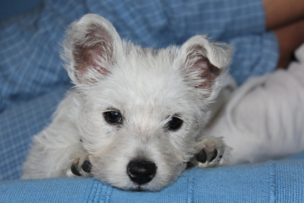West Highland Terrier puppy 3: Maddie - our 'westie'