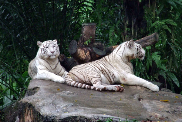 white tigers3