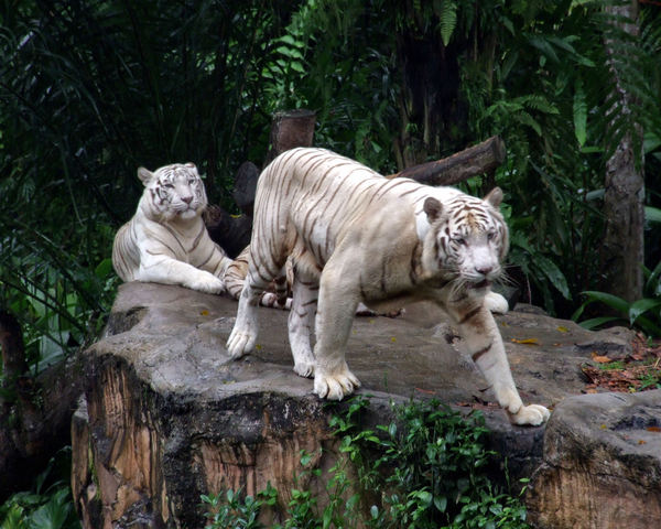 white tigers2