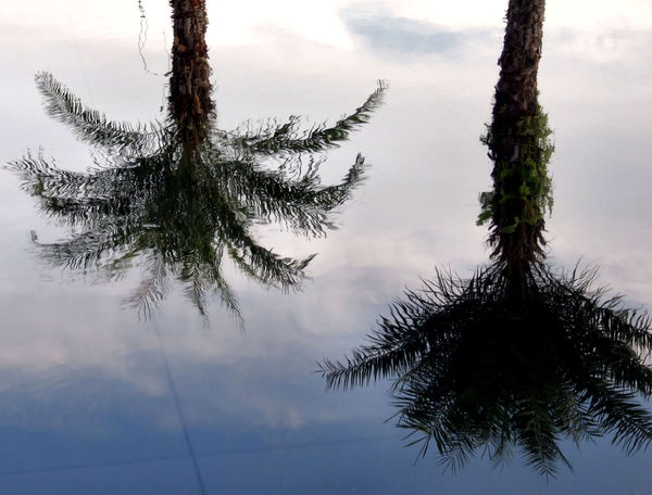 calm palm reflections3