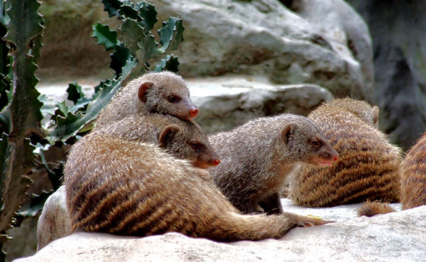 banded mongoose colony2
