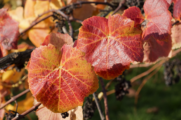 Vineyard in autumn: Vineyard leaves in autumn in Surrey, England.