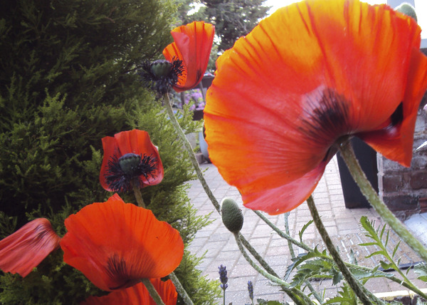 Rich Red Poppies