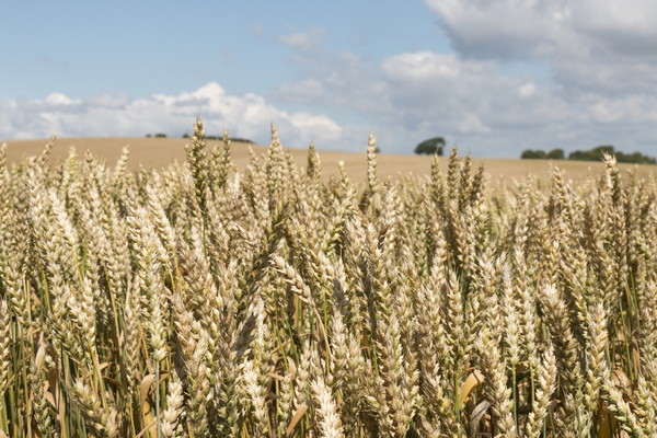 Wheat crop: A ripening crop of wheat (Triticum) in Sussex, England.