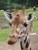 Giraffe 1: Sad looking Giraffe in Emmen Zoo