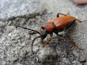 Insect: A Insect just before our backdoor. I think it is a Leptura rubra Longhorn Beetle. At least, it looks like one