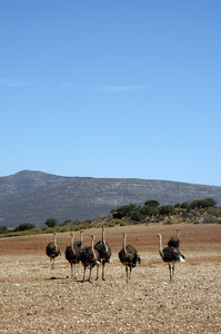 Ostriches: Ostriches in a barren field, Karoo, South Africa.NB: Credit to read