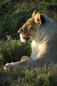 Lioness 1: Tawny lioness at rest in the Karoo, South Africa.NB: Credit to read