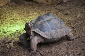 Giant Tortoise: Giant tortoise walking. Sadly this species is endangered.