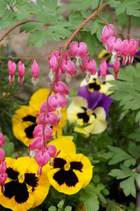 Hearts and pansies on flowerbe: Viola tricolor, and Dicentra spectabilis