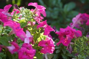 petunia and light: the bed plants of petunia on evening sun
