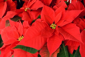 Red poinsettia: Euphorbia pulcherima - Star of Bethlehem.