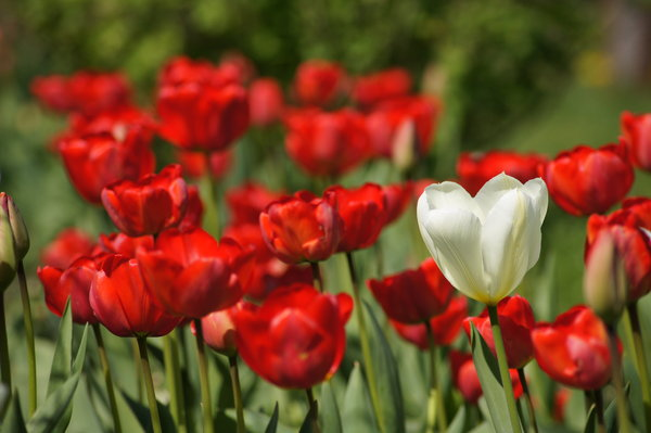 tulips: Single, white tulip surrounded red tulips.