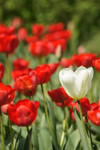 tulips: single white tulip surrounded the reds