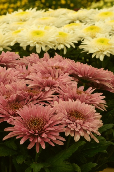 chrysanthemum: Chrysanthemum flowers (Eleonora group of cultivars)