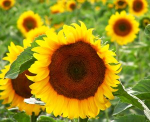 sun flower 7: No description