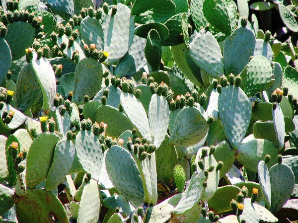 cactus: cactus with flowers in grece