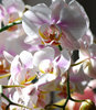 orchidee: orchidee