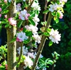 apple blossoms: apple blossoms