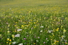 flower meadow: flower meadow