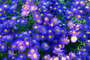 aster amellus: aster amellus