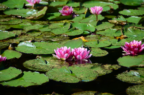 pink water lily: pink water lily