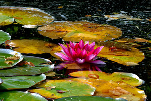 Waterlily: no description
