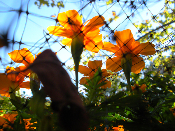 Beneath the Flowers: Ground view looking up at orange flowers peeking through fencing toward the blue sky.