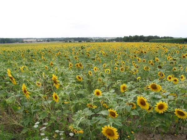 One eyed: Sunflowers in French