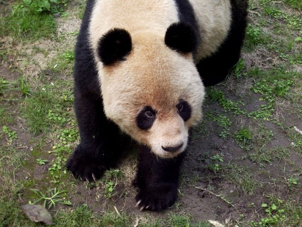 Giant Panda: Close up of a Giant Panda