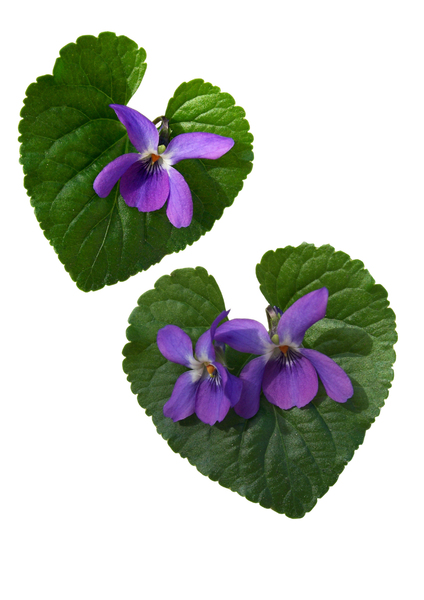violets: some cut outs of violets