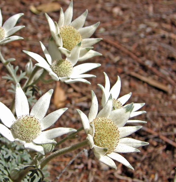 flannel flowers: a bunch of flannel flower, australian native plant