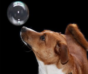 PUPPY AND BUBBLE: My Jack Russell watching his first bubble before he popped it. Edited i Microsoft Photodraw. An old program but easy to use.