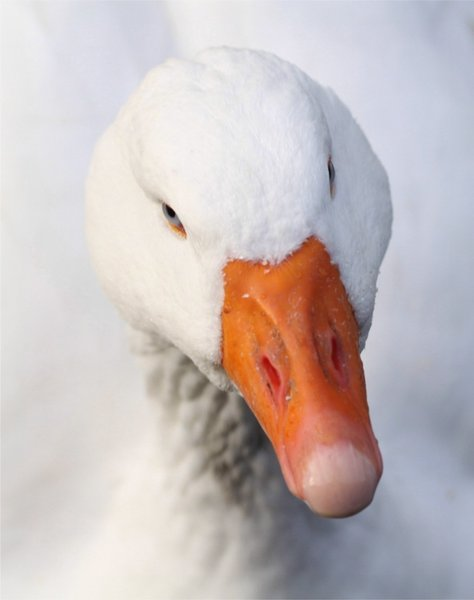 Goose Up Close: Close-up of a goose