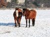 two horses on snow: two horses on snow