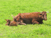 red cattle 2: red cattle 2