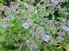 borage blossoms 2: borage blossoms - common borage - aka starflower - Borago officinalis