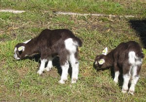 "grazing goatlings: grazing goatlings (""Thüringerwaldziege"") - young goats happily growing up on an organic farm in Berlin, called ""Domäne Dahlem"""