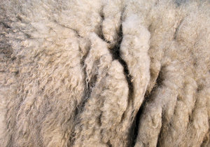 sheep wool texture: sheep wool texture - photographed live from a sheeps back