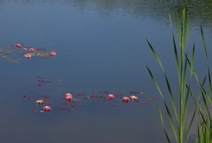 water lilys on a pond 2: water lilys on a pond 2