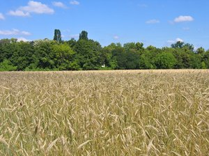 ripe wheat field: ripe wheat field