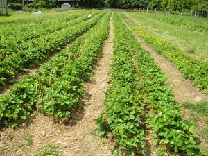 ripe organic strawberry field: ripe organic strawberry field
