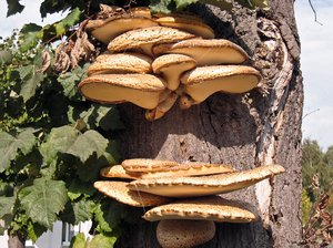 mushrooms on tree: mushrooms on tree