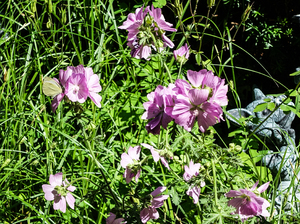 rosy mallow plant: rosy mallow plant - on the left hand side you can spot a butterfly who finds the nectar delicious