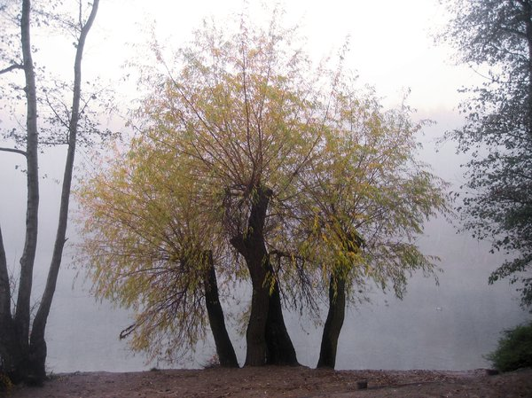 foggy autumn willow: foggy autumn willow