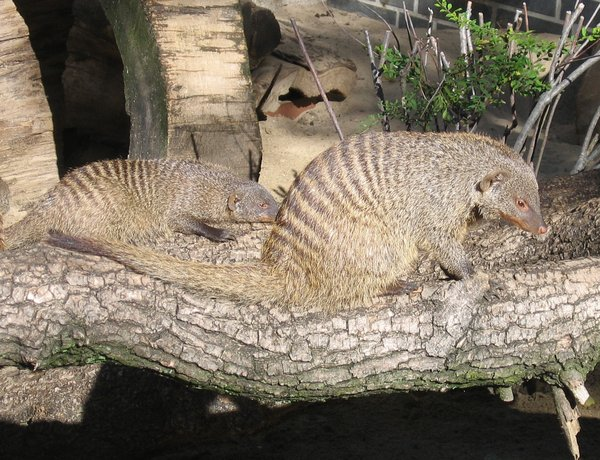 banded mongoose: banded mongoose
