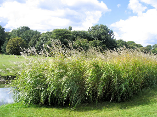 reed bush in a park: reed bush in a park