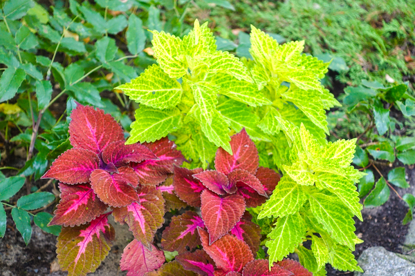 coleus painted nettle: coleus painted nettle