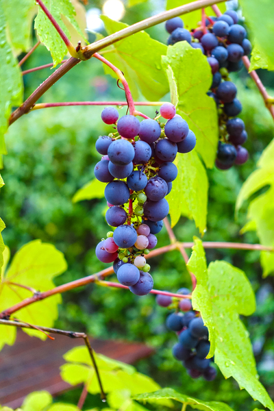 black grapes 2: black grapes