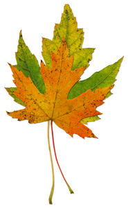 Leaf  60: A series of isolated fall leaves.